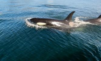 Glacier Wind Charters eric johannsen orca cruising close