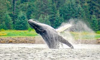 Glacier Wind Charters breaching humpback 2