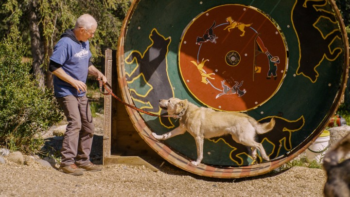A man leads a Husky on a running wheel.