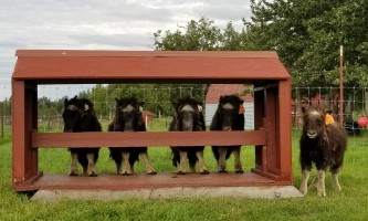 20200731 094812 alaska alaska musk ox farm