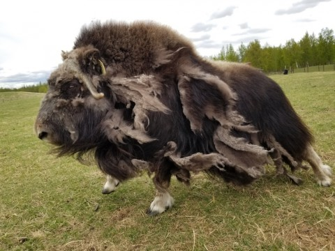 The musk ox possesses a soft under-wool called qiviut. Every spring, its gently hand-combed from the musk oxen on the farm. Knitters expertly turn it into hats, scarves, nachaqs (Eskimo smoke rings), and other clothing.