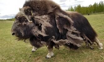20200519 142851 2 alaska alaska musk ox farm