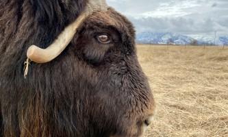IMG 7866 alaska alaska musk ox farm