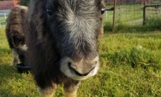 20190722 082110 alaska alaska musk ox farm
