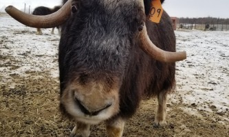 20190129 145901 alaska alaska musk ox farm