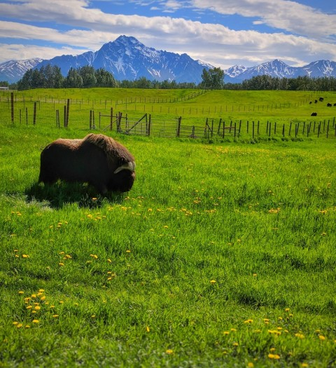 Take a 40 - 45 minute tour of the farm, where you'll see about 80 musk oxen