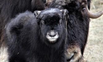 CROPIMG 0983 alaska alaska musk ox farm
