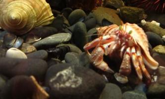Alaska Alaskan hermit crab Pratt Museum