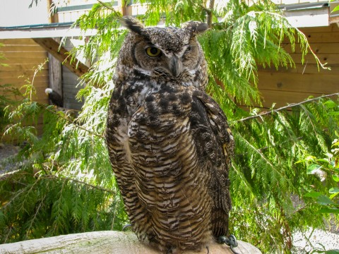 An owl perched on a branch in the Rainforest Sanctuary, Totem Park, & Eagles.