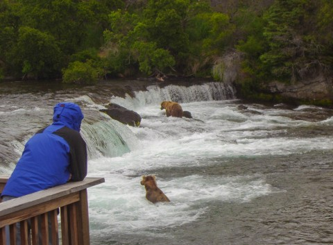 A person in a blue rain jacket leans on a rail from an observation deck to watch bears catch fish in the water.