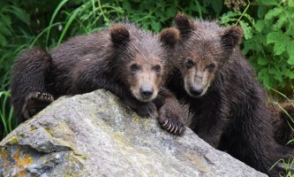 RBL Twin Bears Marrano alaska rusts bear viewing anchorage
