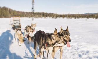 Salmon berr tours dog sledding 12