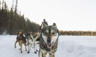 Salmon berr tours dog sledding 7