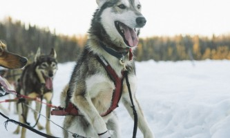 Salmon berr tours dog sledding 5
