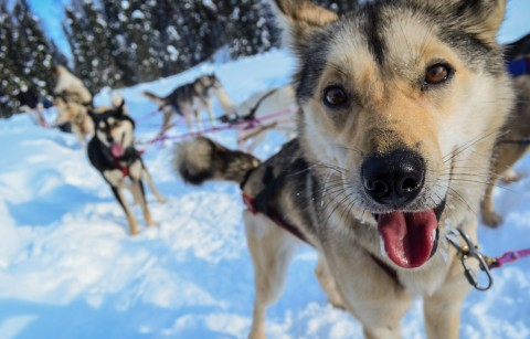 Close up on the face of a sled dog.