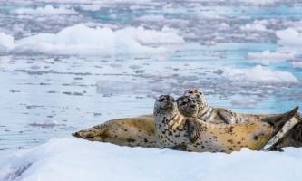 Colleen Stephens Harbor Seals alaska valdez stan stephens glacier wildlife cruises