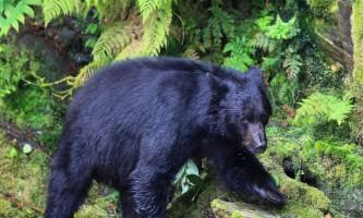 Taquan air bearviewing Bear taquan neets bay bear adventure by floatplane