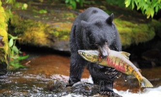 Taquan air bearviewing Bear with Salmon horz taquan neets bay bear adventure by floatplane