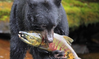 Taquan air bearviewing bear with salmon vert taquan neets bay bear adventure by floatplane