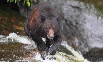 Taquan air bearviewing Bear horz 2 taquan neets bay bear adventure by floatplane