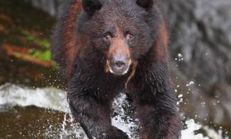 Taquan air bearviewing Bear vert 2 taquan neets bay bear adventure by floatplane