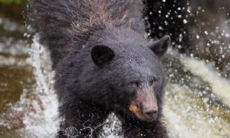 Taquan air bearviewing Bear splash vert taquan neets bay bear adventure by floatplane