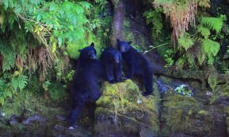 Taquan air bearviewing 3 Bears horz taquan neets bay bear adventure by floatplane