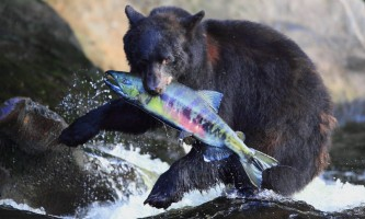 Taquan air bearviewing Bear with fish horz taquan neets bay bear adventure by floatplane