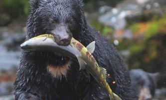 Taquan air bearviewing Bear with fish vert taquan neets bay bear adventure by floatplane