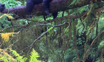 Taquan air bearviewing Bear on limb vert taquan neets bay bear adventure by floatplane