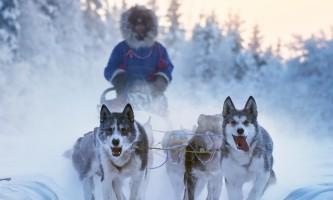 Winter Sled Dog Team