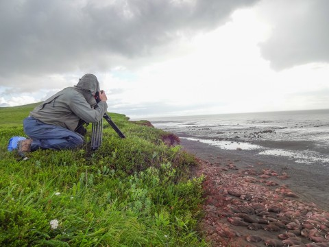 Someone in a rain jacket kneels in the grass to photograph Pacific Walrus on the beach with a camera on a tripod.