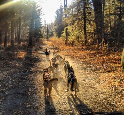 Sled dogs race down a forest trail in summer.