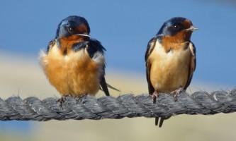 Birds Barn Swallow
