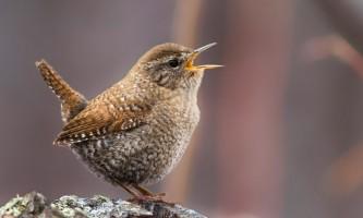 Birds Winter Wren
