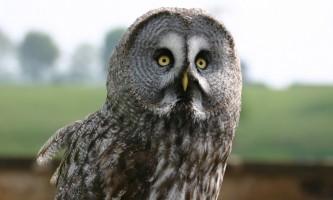 Birds Great Grey Owl