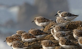 Birds Fork tailed Storm Petrel