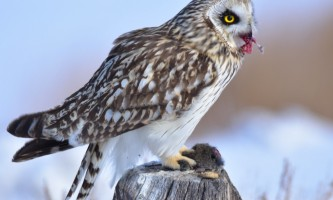 Birds Short eared Owl