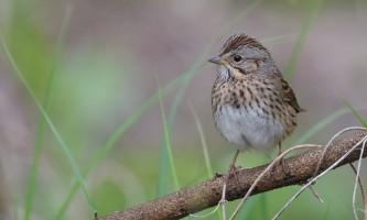 Birds Lincolns Sparrow