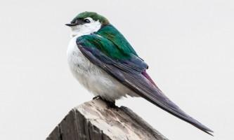 Birds Violet green Swallow
