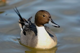 Birds Northern Pintail