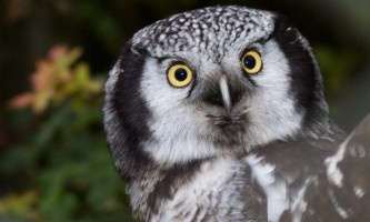 Birds Northern Hawk Owl