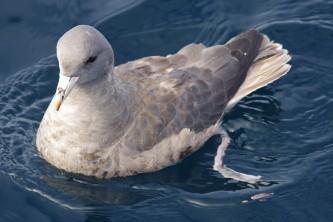 Birds Northern Fulmar Martyne J Reesman