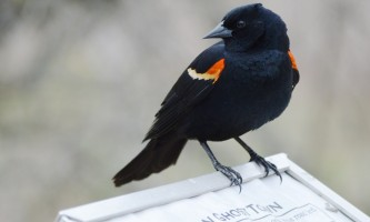 Birds Red winged Blackbird