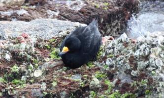 Birds Black Scoter