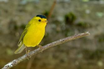 Wildlife Wilsons Warbler 2018 Becky Matsubara Bird Species