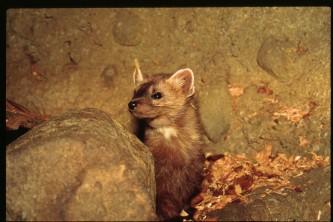 Land mammals marten 01