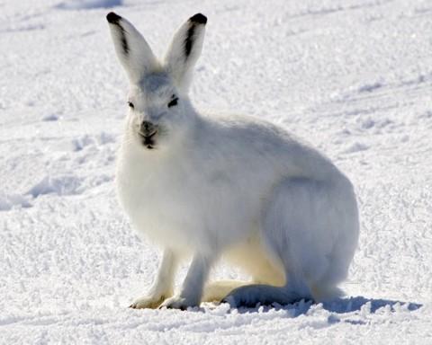 Tundra Hare