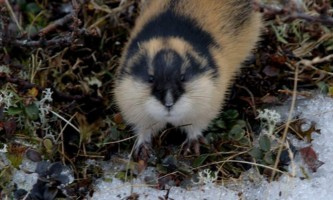 Land mammals lemming 02