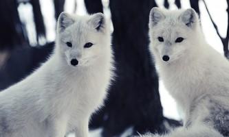 Land mammals arctic fox 01